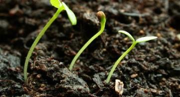 Tomato-Seedlings-500x270