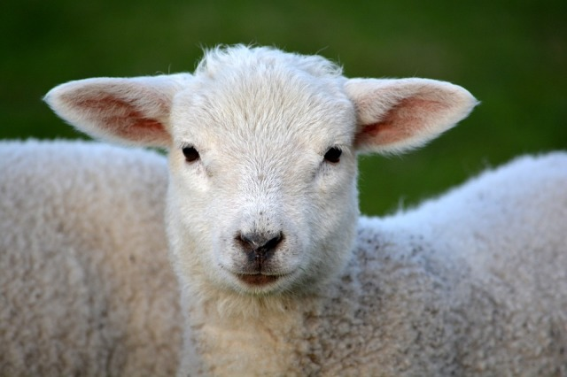 lamb-292512_960_720
